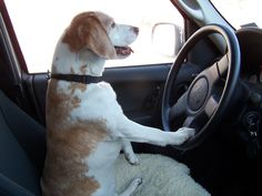 Tips for Taking Your Dog in Your Jeep - Don't let you dog drive
