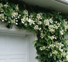 ╭⊰✿ The Romantic Cottage Garden ✿⊱╮Schizophragma hydrangeoides 'Moonlight' 1 flower, a climbing hydrangea