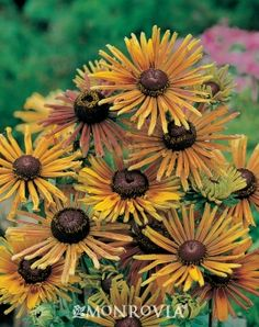 Black-Eyed Susan (Rudbeckia hirta) 'Chim Chiminee' --- Unique quilled flowers provide a full palette of autumnal color all summer! Mahogany, yellow, bronze and gold flowers make a brilliant display in the butterfly garden or perennial border. Amazing Gardens, Beautiful Gardens, Beautiful Flowers, Monrovia Plants, East Of Eden, Hummingbird Garden, Plant Catalogs, Cut Flower Garden, How To Attract Birds