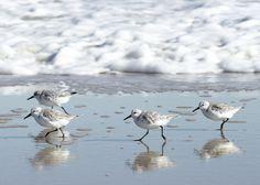 Shorebirds Sanderlings and Seafoam 5x7 by Simplynaturalphotos