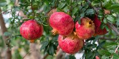 If you live in an area that has mild winters and a frost free season long enough for the fruit to ripen, you can grow hardy kiwi plants. This article provides growing information that will help. Hardy Kiwi, Washington Apple, The Fresh, Frost, Vines, Pear, Seasons, Canning, Flowers