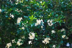 Jasmine Tree - one of our neighbors has one and I am so happy when I walk by it.  I want one on my property. This would be a great gift for me and my family -- and the neighborhood!