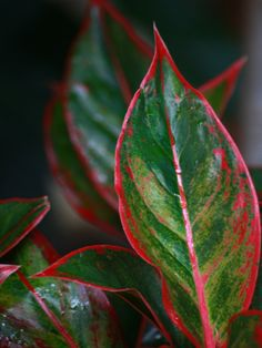 Aglaonema (Chinese Evergreen) The aglaonema is renown for its huge variety of colors. This plant can display colors from bright white to a stunning deep red. And all variegations do well in low light spots.
