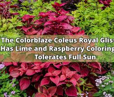Colorblaze Coleus with lime and raspberry coloring adds bright color About The Colorblaze Coleus Royal Glissade  I must say that the Colorblaze Coleus Royal Glissade is one of my new Coleus favorites. There are so many new varieties that it is hard to choose. This Coleus has jagged moss-green to lime... - #coleus #colorblaze #plants #royal #leaves #containers #container gardening #raspberry