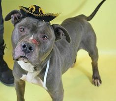"""TO BE DESTROYED 2/18/14 Brklyn Ctr -P PEPSI A0991615 STRAY Male blu & wht pit mix 2YRS Clearly difficult intake-likely an intrusive & painful time. Volunteer states """"He's really a sweet dog! Very thin, but still very handsome. Seems VERY housetrained& and knows """"sit."""" Very friendly w/ people. Not had him close to other dogs, but he doesn't pay them attention when passing other cages or on the street. I hope someone can show him a better life!"""" Pepsi needs an experienced, loving hero to step…"""