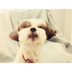 Talk to the nose #shihtzu #shitzu #dog #cuteanimal