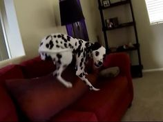 Dalmatian's Crazy After Shower Routine