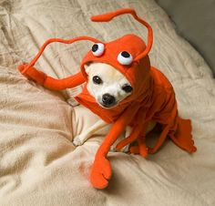 """you don't have to be crabby about it""..sorry...not so pun-ny....is this lovely pup dressed as a crab,lobster or red bug???"