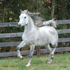 """Arabian mare """"Grace"""" is a old beauty. Under saddle and ready for a career in performance or as a broodmare. Arabian Horses For Sale, 5 Year Olds, Egyptian, Career, Animals, Beauty, Carrera, Animales, Animaux"""