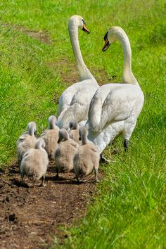 swan family - The ethology of emotions and empathy Beautiful Swan, Beautiful Birds, Animals Beautiful, Beautiful Family, Farm Animals, Animals And Pets, Cute Animals, Garden Animals, Cygnus Olor