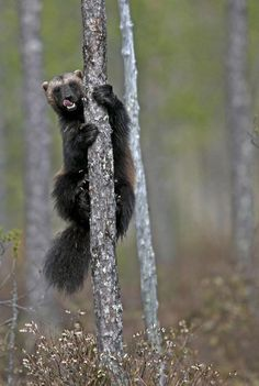 psa: wolverines are not wolves, not in any sense (Wolverine in Finland by David WOLBERG on Nature Animals, Animals And Pets, Cute Animals, Wolverine Animal, North American Animals, Dangerous Animals, Honey Badger, Animal 2, Wild Nature