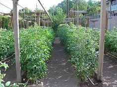 Καλλιέργεια τομάτας (ντομάτας) - Οδηγίες & Συμβουλές - kalliergo.gr