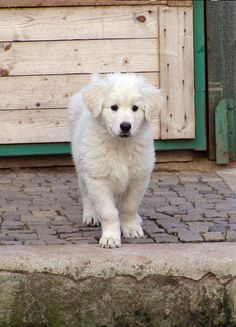 Slovensky Cuvac Pup Different Dogs, Livestock, All Dogs, Dog Breeds, Bff, Labrador Retriever, Cute Animals, Puppies, Pets