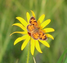 Butterfly on Wild Daisy by OnTheMarkPhotos
