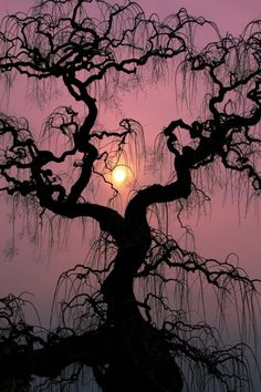 Tree with weeping branches and sunset.