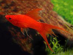Freshwater Aquarium, Aquarium Fish, Aquarium Ideas, Swordtail Fish, Just Fresh, Aquarium Accessories, Cool Fish, Types Of Fish, Tropical Fish