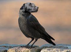 blafbird