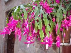 Schlumbergera or christmas cactus <3
