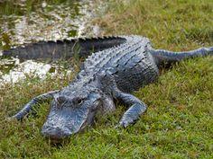 Alligator Round nose