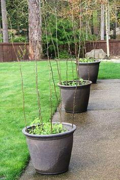 container gardening sugar snap peas