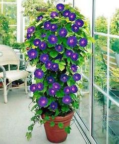 Container Tomato Gardening Container pot with Morning Glory plant. - Add a vertical touch in your container garden by growing climbing plants for containers. Must see these 24 best vines for pots. Gardening For Beginners, Gardening Tips, Gardening Courses, Gardening Magazines, Gardening Services, Gardening Quotes, Container Plants, Container Gardening, Flower Seeds