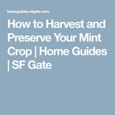 How to Harvest and Preserve Your Mint Crop   Home Guides   SF Gate