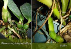 Desenvolvimento das orquídeas Cattleyas.  Fotografia: orquideassemmisterio.blogspot.com.br  http://www.portaltudoaqui.com.br/aprenda-como-cultivar-orquideas-cattleyas/
