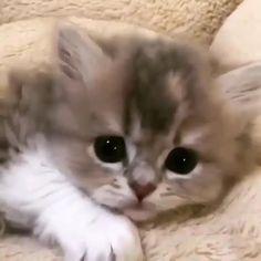 #Cataesthetic#Cat#catslove#catslovecouple#catslovecouplesweets#cutecatsaesthetic#cutecatsfunny#cutecatsfunnyvideo#cutecatsfunnykitty#kittyaesthetic#kitty#videocutecat#cutecatvideosfunny Baby Animals Super Cute, Cute Baby Cats, Cute Little Animals, Cute Cats And Kittens, Kittens Cutest, Funny Cute Cats, Cute Funny Animals, Gato Gif, Baby Animals Pictures