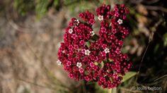 Crassula alba Kwazulu Natal, Wildflowers, Wildlife, March, Sunset, Sunsets, The Sunset, Mac, Wild Flowers