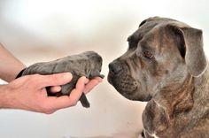 Cane Corso & Puppy Italian Cane Corso, Cane Corso Italian Mastiff, Cane Corso Mastiff, Cane Corso Puppies, Cane Corso Kennel, Animals And Pets, Cute Animals, Gentle Giant, Family Dogs