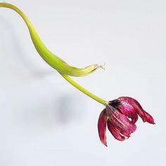 Hoy por la belleza incomprendida... . Feliz fin de semana! . . . . . . . #flores #flor #flower #flowers #flowersmagic #tulip #tulips #tulipa #tulipanes #nature #naturaleza #naturephotography #farmer #farmerflorist #granada #florista