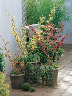 Zaubernuss (Hamamelis intermedia) 'Orange Beauty', 'Arnold Promise', 'Diane' unterpflanzt mit Efeu (Hedera) und Schneeglöckchen (Galanthus) mit Kugeln aus Moos