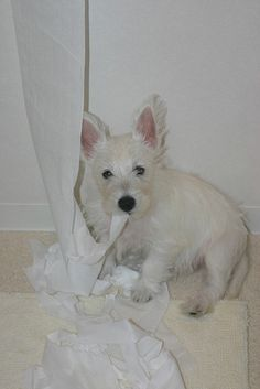Westies look so funny at this age, like they have to grow into their ears