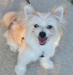Meet Sadie - Adopted!!, an adoptable Pomeranian looking for a forever home. If you're looking for a new pet to adopt or want information on how to get involved with adoptable pets, Petfinder.com is a great resource.