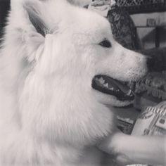 #North #samoyed #puppy #petstagram #instadog #instapuppy #cat_dog #самоед #white #wolf #black #doggy