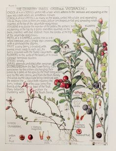 1910 Botanical Print by H. Isabel Adams: Cranberry Family, Bilberry, Cowberry, Marsh Cranberry