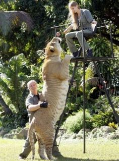 Liger........here kitty kitty!