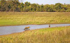 Tiger Habitat - Wildlife Photographer Community Wonderful Image of Tiger habitat by Gajanan Bapat on community of wildlife photographers   http://photos.wildfact.com/image/301/tiger-habitat