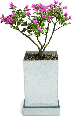 With peeling grey on red bark and flowers that appear during the summer months, the Crepe Myrtle is a beautiful Bonsai tree to grow using this Starter Kit. During the second year, leaves start to gree                                                                                                                                                                                 More