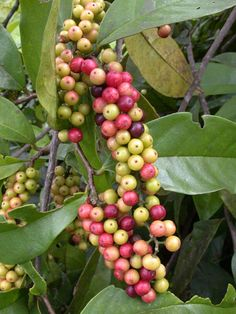 Bignay or currant tree (Antidesma bunius) is an edible fruit tree native to the Philippines