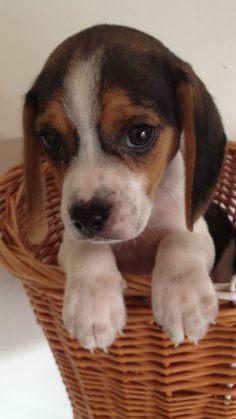 Pocket beagle puppy Chubbs