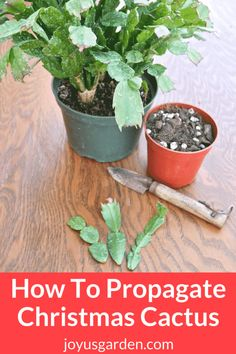 How To Propagate Christmas Cactus (Holiday, Thanksgiving) By Stem Cuttings With 1 Easy Twist - |