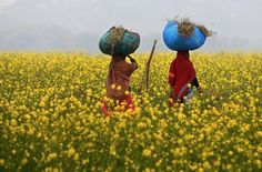 """nubbsgalore: """"the mustard fields of india and bangladesh photographed by: rajesh kumar singh in uttar pradesh; rupak de chowdhuri in india's mohini village; ap, singair, outskirts of. Crime Rate, Pictures Of The Week, 25 Years Old, India Travel, Worlds Of Fun, Dream Catcher, Mustard, This Or That Questions, Pintura"""