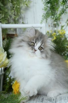 Persian Cat Gallery - Cat's Nine Lives Persian Kittens For Sale, Cute Cats And Kittens, Baby Cats, Kittens Cutest, Beautiful Kittens, Pretty Cats, Animals Beautiful, Pretty Kitty, Rare Dog Breeds
