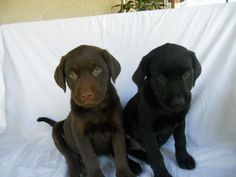 It's cowboy and Bo as puppies! Well it looks like them <3
