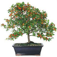 Outdoor Bonsai Tree for Beginners | Specimen Bonsai | Bonsai Outlet Bonsai Trees : More At FOSTERGINGER @ Pinterest ⚫️