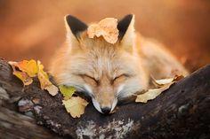 Freya magnifique renard domestique  2Tout2Rien