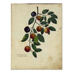 Shop Vintage Botanical Poster - Plum created by LittleLittleDesign. Vintage Botanical Prints, Botanical Drawings, Botanical Art, Botanical Flowers, Plum Print, Plum Tree, Custom Posters, Custom Framing, Illustration Art