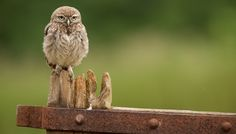 This fluffy little owlet is not happy waiting for his food...