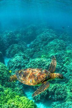 Green Sea Turtle Swimming among Coral Reefs off Big Island of Hawaii ○ Lee Rentz